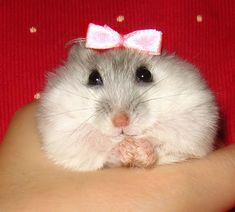 Dwarf Hamster http://www.caringfordwarfhamsters.com/dwarf-hamster-care/#