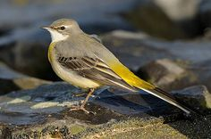 Grey Wagtail (Motacilla cinerea) | Found today this Grey Wag… | Flickr