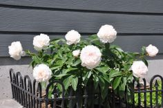 Peony on east side of house from Mother's day last year on 06/04/2014.