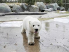 This polar bear is young, but its ancestors date back 600,000 years.