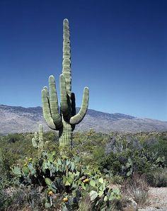 Cactus, Saguaros, Flores, Desierto