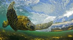The Flying Honu- a Hawaiian Green Sea Turtle, honu as they are known in Hawaii, passes behind a breaking wave on the North Shore of Hawaii.