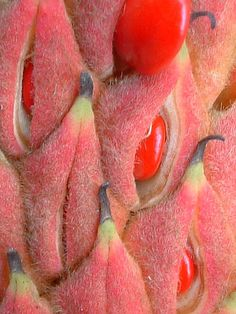 ˚Magnolia seed pods red pink