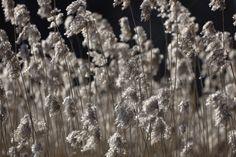 Fluffy Silver Grass - Fototapeten & Tapeten - Photowall