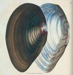 Mytilus stagnalis. [Class 6. Vermes; Order 3. Testacea](MDCCCIV-VI [1804-1806])