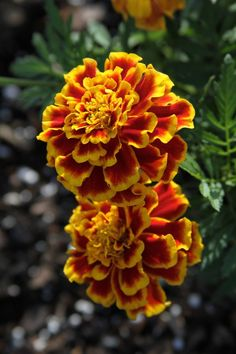 Marigolds are the sturdy yard flower that I've read work well in vegetable gardens between the various vegetable plantings.
