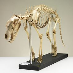 No. 63 Articulated skeleton of a thylacine - the Tasmanian tiger |  Many of us are familiar with grainy photographs of thylacines behind bars. This skeleton, an adult male, is one of the few specimens that can be traced back to a live animal seen in those old photos. Captured in the bush near Tyenna, by Ted Power, in 1911, it was sold to Hobart's Beaumaris Zoo, then run by Mary Roberts in the grounds of her large house in…