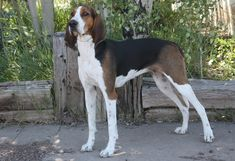 "Treeing Walker Coonhound: Called ""the people's choice"" of the coonhound breeds, the energetic Treeing Walker is perfectly suited for the task for which it was bred - tracking and treeing wild raccoons.  The breed's competitive spirit makes it an ideal choice for competitive coonhound events."