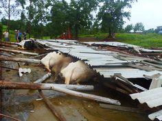 MUNDO LIVE NEWS NOTICIAS: Galpão despenca e mata 16 vacas leiteiras em Santo...