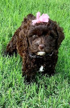 Brown Labradoodle, Puppies, Dogs, Animals, Cubs, Animales, Animaux, Animal Memes, Puppys