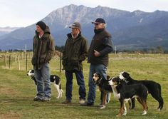 New Zealand Heading dogs with handlers at trial in NZ