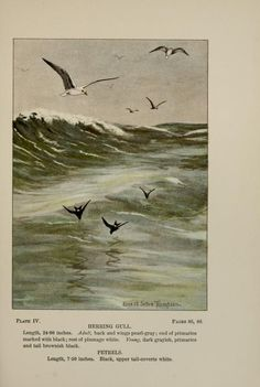 Herring gull, Bird-Life: A guide to the study of our common birds, Frank M. Chapman, illustrated by Ernest Seton Thompson, 1900.