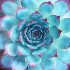 Beautiful Blue African Aeonium succulent!