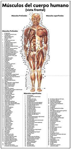 Después de una pequeña lesión muscular, esto te orienta en saber lo que tienes. Physical Therapy, Medicine, Human Body Muscles, Alternative Health, Human Anatomy