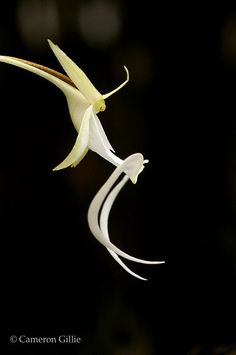 ghost orchid in the fakahatchee strand in florida Strange Flowers, Unusual Flowers, Amazing Flowers, Pretty Flowers, Rare Plants, Exotic Plants, Unusual Plants, Cool Succulents, Ghost Orchid