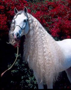 Andalusian Horse by liliana - wunderschöne Pferde - Horse Beautiful Horse Pictures, Most Beautiful Horses, Animals Beautiful, Cute Horses, Pretty Horses, Horse Love, Andalusian Horse, Friesian Horse, Arabian Stallions