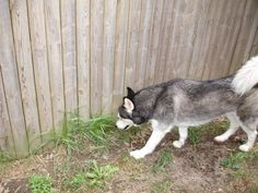 Everyday Tales of Woe: Husky-proof fencing (how to) Dog Proof Fence, Dog Fence, Pet Dogs, Dog Cat, Pets, Doggies, Baby Puppies, Dogs And Puppies, Outdoor Dog Area