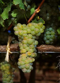 Time for some Viognier!!!   Photographer Jack Clark