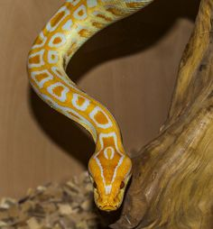 Burmese Python stunning pattern/color