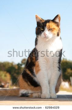 Beautiful Calico Cat Sitting On Porch Stock Photo (Edit Now) 62984029 Tortoise As Pets, Tortoise Food, Kitten Care, Healthy Pets, Cat Sitting, Find Pets, Cat Breeds, Pet Portraits, Cute Cats