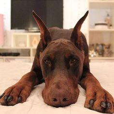 Doberman @ruby_prince_dobermans