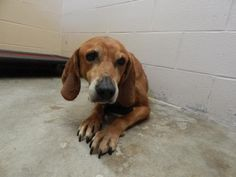 Meet+Red,+a+Petfinder+adoptable+Hound+Dog+|+Pikeville,+KY+|+Thank+you+for+taking+the+time+to+view+a+pet+from+the+Pike+County+Animal+Shelter!++If+you+are...