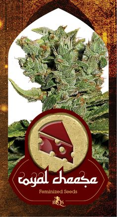 Cheese is a legendary cannabis plant with origins based in the UK. This marijuana strain has its heritage from some original Skunk #1. Type: Sativa: 40% Indica: 60%, Yield: 60 grams,  Harvest month: Middle of October,  Height of the plant: 150-200cm,  Genetic background: Old School Skunk x Afghani, Effect: A combination of stoned + high, Cannabinoid content: Medium-high, Flowering time: 8-10 weeks. http://www.royalqueenseeds.com/140-royal-cheese.html