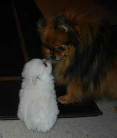 Pictures of Pomeranian puppies from The Bomb Poms Pomeranians. These are all pictures of puppies we have raised here. You can see here how they are cared for, loved, and valued in our home. Pomeranian Spitz, White Pomeranian Puppies, Pomeranian Facts, Pomeranians, Merle Pomeranian, Teacup Pomeranian, Chihuahuas, Yorkies, Puppies For Sale