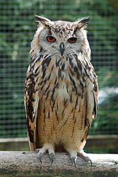Indian eagle-owl is a species of large horned owl found in the Indian sub-continent