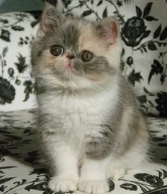 Exotic shorthair kitten names Pinny! OHGOSH it's so perfect! It's coloring is amazing!!! Love it!