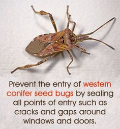 Western Conifer Seed Bugs - Known for their noisy flying and pungent smells, western conifer seed bugs can become a nuisance once they gain entry inside a home ~ via  www.buzzle.com/articles/how-to-get-rid-of-western-conifer-seed-bugs.html