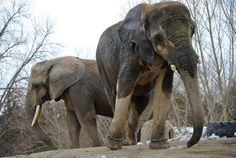 #Toronto #Zoo elephants won't fly south earlier than fall, says Canadian military. Iringa (front) and Toka were among the first elephants to arrive at the Toronto Zoo in 1974.