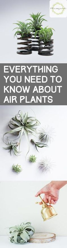 Everything You Need to Know About Air Plants - Bless My Weeds #indoorgardening
