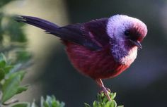 The Pink-headed Warbler is a fantastic little bird endemic to northern Central America.