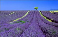 Lavender, as far as the eye can see.