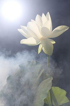 d102563e46049c27f2b7838477ebee56--lotus-flowers-illusions.jpg