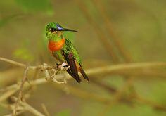 https://flic.kr/p/5pt6Bo | Gould's Jewelfront - Manu NP Peru 07 _9630rid