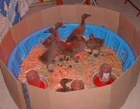 Duck brooder | The New Agrarian