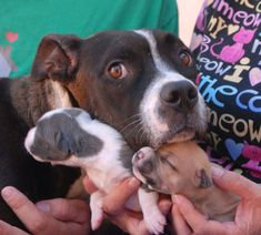 Bethany and her 9 newborns need a foster hero!  Please share their picture to help.  Bethany is a good mom to her babies.  She is shy with people and so confused about why they became homeless.  (Their previous owner surrendered them to a pick-up service company which refused to have them destroyed.)  Bethany is a small Bully mix, 2 years of age.  The foster commitment will be for approximately 3 months.  If you can help, please visit Nevada SPCA (www.nevadaspca.org) in person and ask for…
