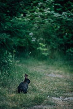jakfruit:  Black rabbit in the thicketDiscovery Park, Seattle, WA