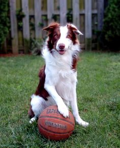 Dogs playing basketball! #slobbering16 #akc