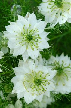 Love-in-a-mist Nigella damascena 'Albion Green Pod' - pure white flowers with a prominent boss of stamens are framed by a collar of wispy foliage, creating a beautiful, ethereal effect. As the flowers fade, fantastic green seedpods develop, and both these and the flowers make wonderful additions to fresh or dried arrangements
