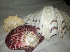 Hand Fan, Shells, Home Appliances, Seashells, House Appliances, Conchas De Mar, Appliances, Sea Shells, Fan