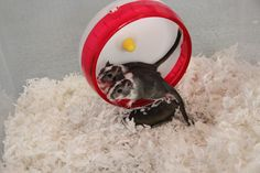 Two gerbils sharing a wheel together. This wheel is great for any gerbil looking to share it with her sister! ohanagerbils.com
