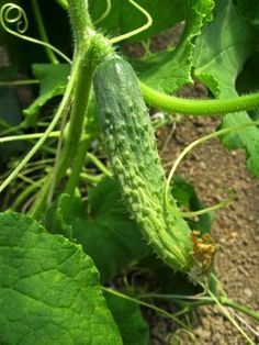 Here you can witness the history of the vegetable cucumber, fascinating member of the gourd family Cucurbitaceae and its journey through five thousand years of human growth and expansion. Find out more about cucumber history here. Container Gardening, Gardening Tips, Tomato Fertilizer, Cucumber Plant, Grow Cucumber, Reiki Training, Learn Reiki, Garden Boxes, Plantation