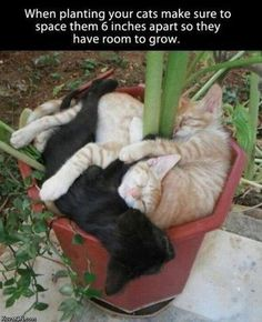 When planting cats makes sure to space them 6 inches apart so they have room to grow. Cool Cats, I Love Cats, Crazy Cats, Animals And Pets, Funny Animals, Cute Animals, Nature Animals, Planting, Plant Care