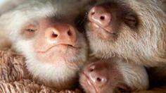 Cute. Sloths