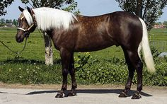 Breed: Quarter Horse Height: Sex: Stallion Age: four years old Color: chocolate Palomino Owned by: Ryou Hill Bred by: Requiem State Horses And Dogs, Cute Horses, Horse Love, Wild Horses, Black Horses, American Quarter Horse, Quarter Horses, Clydesdale, Most Beautiful Animals
