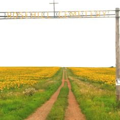 Millions and millions of sunflowers ... North Dakota is one of the leading producers of sunflowers in the nation