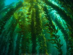 seaweed underwater   Lush underwater kelp forest off the coast of San Clemente Island in ...